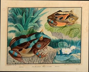 Two Amazonian Horned Frogs (Ceratophrys cornuta)