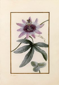 Drawing for the Herbier général de l'amateur: A Violet Passion Flower (Passiflora violacea)