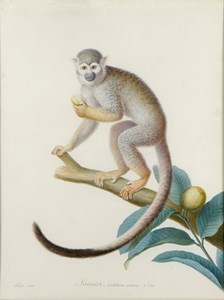 A Common Squirrel Monkey on a Branch, Eating a Fruit