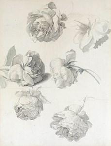 Six Studies of Roses
