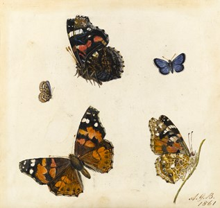 Studies of Five Butterflies