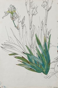 Irises [recto]; Polygonum and Rheum [verso]