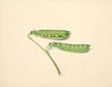 Two Pea Pods on a Stem