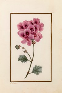 Drawing for the Herbier général de l'amateur: A Duchess of Gloucester's Geranium (Pelargonium solubile)