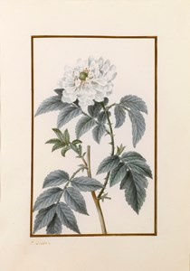 Drawing for the Herbier général de l'amateur: A Roseleaf bramble (Rubus Rosifolius)
