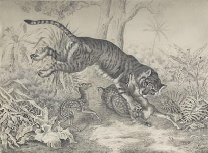 A Tiger Attacking a Sika Deer
