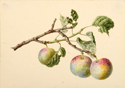 Three Plums on a Branch